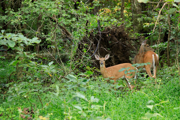 White Tailed Deer, Shenandoah National Park, Virginia