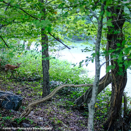 Deer, Great Falls Park, Virginia