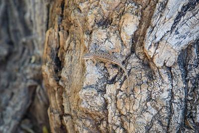 Lizard, Zion National Park, Utah, Highway 9 - Zion Mt Carmel Highway