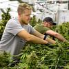 Americanna Cannabis