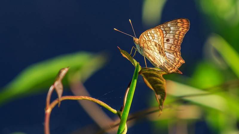 Butterfly in Zapata swamps