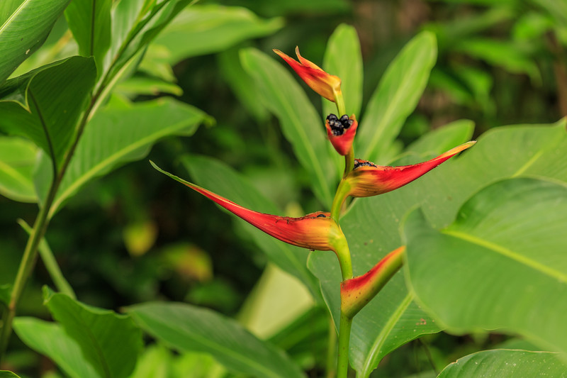 Heliconia latispatha (expanded lobsterclaw)