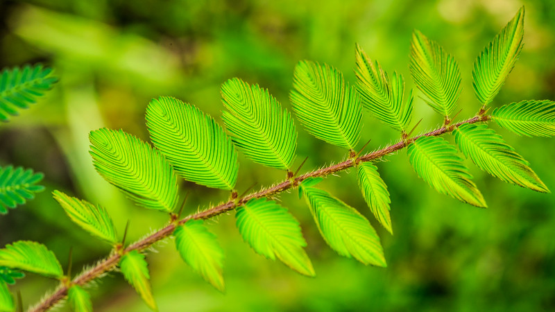 Mimosa pudica in tropical forest