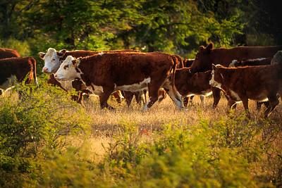 Rinder auf der Estancia Nibepo Aike