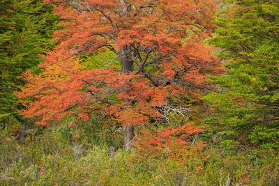 Lenga (Südbuche) im Herbstlaub am Lago Argenitno