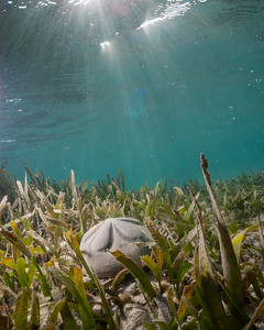 A sea biscuit in the sea grass beds of the Dry Tortugas, FL.