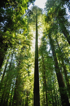 Towering trees in Redwood National Park, CA.