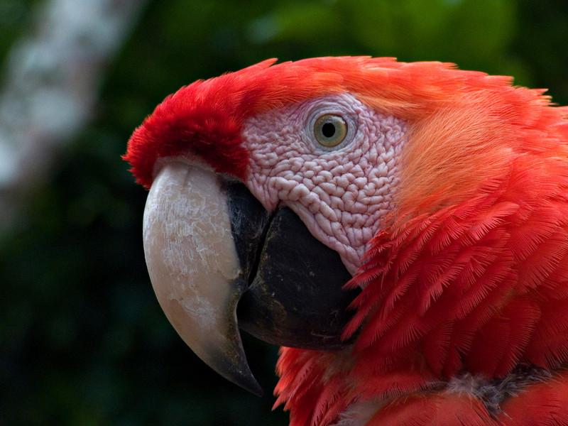 Macaw, Copan