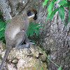 Vervet monkey, Nevis