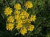 Wild buckwheat (?)