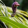 Long-Billed Hermit in Belize