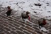 Make Way for Duckings, in the snow