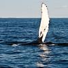 Humpback Whale Flipper in Nova Scotia