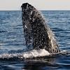 Humpback Whale Spy Hopping in Nova Scotia