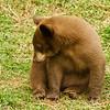 Black Bear Cub in Canada