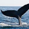 Humpback Whale Flukes in Nova Scotia