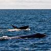 North Atlantic Right Whales in New Brunswick Canada