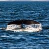 North Atlantic Right Whale Flukes in New Brunswick Canada