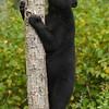 Bear Cub Eating Peanut Butter