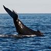Humpback Whale Lob-Tailing in Nova Scotia