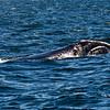 North Atlantic Right Whale in New Brunswick Canada