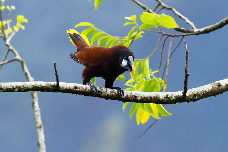 A Montezuma Oropendola displays to attract a mate