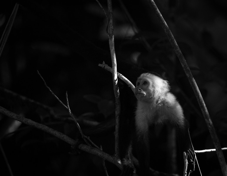 A capuchin pauses for thought