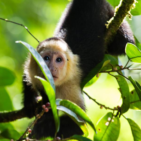 A small white-faced capuchin tears through the trees in Tortuguero
