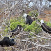 Frigatebirds at  Isla Baltra