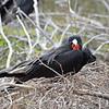 Frigatebird at  Isla Baltra