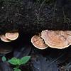 Mashpi Fungus