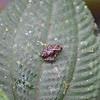 Marbled Poison Frog