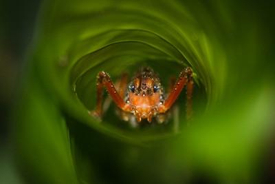 Grasshopper enclosed by leaf