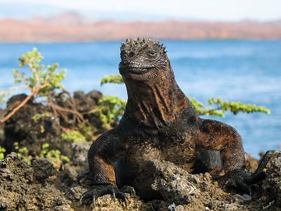 Marine iguana atop cliff