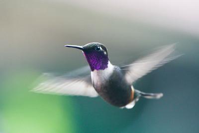 Purple bibbed Whitetip hummingbird
