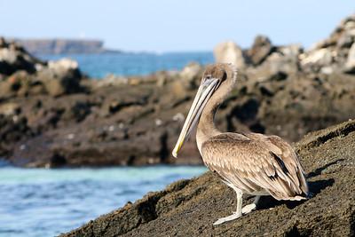 Galápagos Pelican