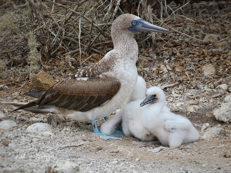 Galápagos Blue Footed Booby with chicks