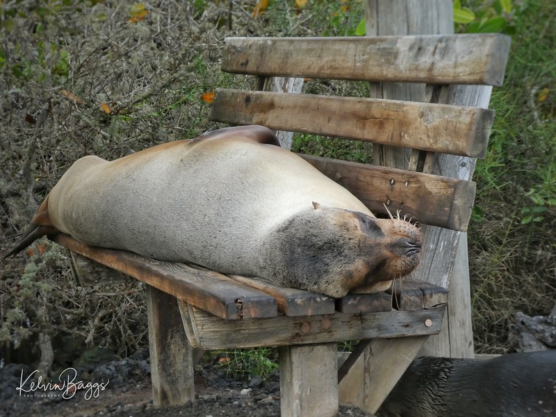 Sea lion resting on bench
