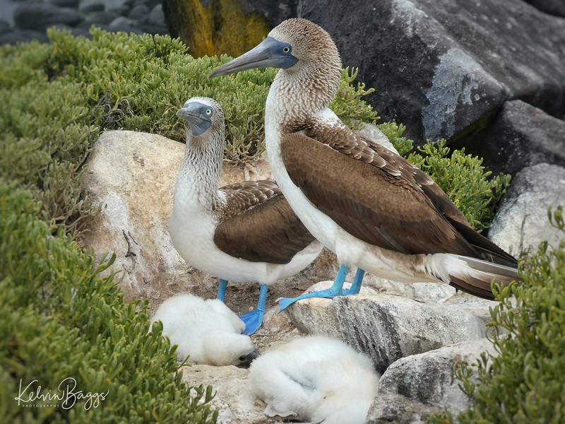 Galápagos Blue footed Booby