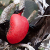 "Male <a target=""NEWWIN"" href=""http://en.wikipedia.org/wiki/Great_Frigatebird"">Great Frigatebird (<i>Fregata minor</i>)</a> trying to attract a mate, Darwin Bay, Genovesa, <a target=""NEWWIN"" href=""http://en.wikipedia.org/wiki/Gal%C3%A1pagos_Islands"">Galápagos Islands</a>"