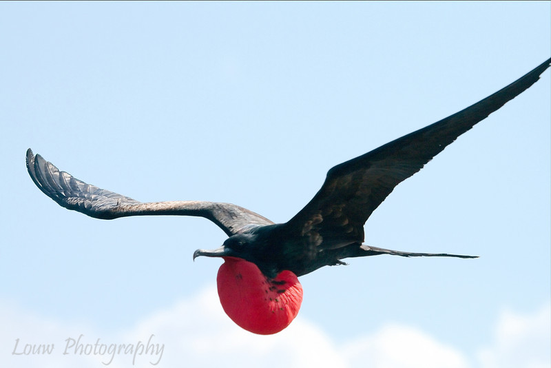 "Male <a target=""NEWWIN"" href=""http://en.wikipedia.org/wiki/Great_Frigatebird"">Great Frigatebird (<i>Fregata minor</i>)</a>, North Seymour, <a target=""NEWWIN"" href=""http://en.wikipedia.org/wiki/Gal%C3%A1pagos_Islands"">Galápagos Islands</a>"