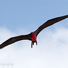 "Male <a target=""NEWWIN"" href=""http://en.wikipedia.org/wiki/Great_Frigatebird"">Great Frigatebird (<i>Fregata minor</i>)</a>, Prince Philip's Steps, Genovesa, <a target=""NEWWIN"" href=""http://en.wikipedia.org/wiki/Gal%C3%A1pagos_Islands"">Galápagos Islands</a>"