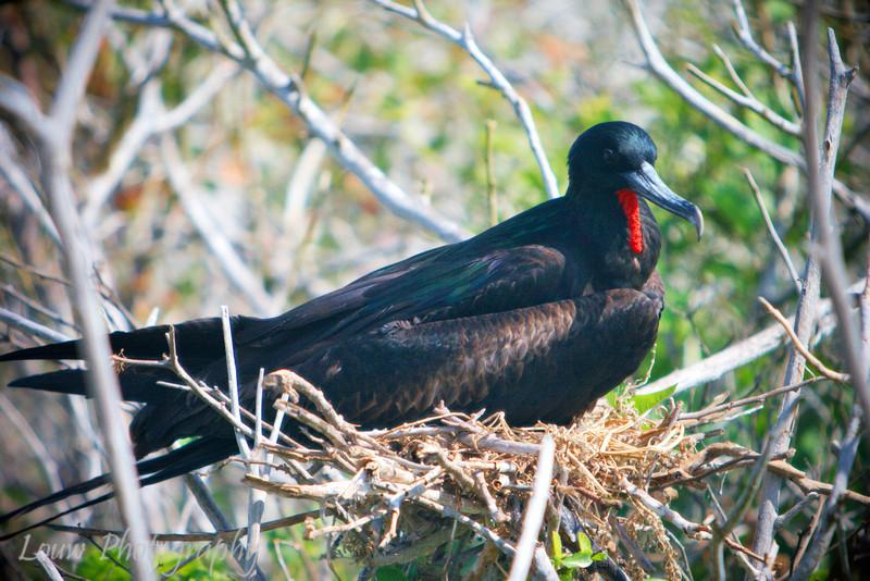 "Nesting male <a target=""NEWWIN"" href=""http://en.wikipedia.org/wiki/Great_Frigatebird"">Great Frigatebird (<i>Fregata minor</i>)</a>, Prince Philip's Steps, Genovesa, <a target=""NEWWIN"" href=""http://en.wikipedia.org/wiki/Gal%C3%A1pagos_Islands"">Galápagos Islands</a>"