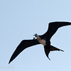 "Female <a target=""NEWWIN"" href=""http://en.wikipedia.org/wiki/Magnificent_Frigatebird"">Magnificent Frigatebird (<i>Fregata magnificens</i>)</a>, North Seymour, <a target=""NEWWIN"" href=""http://en.wikipedia.org/wiki/Gal%C3%A1pagos_Islands"">Galápagos Islands</a>"