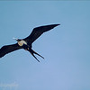 "Female <a target=""NEWWIN"" href=""http://en.wikipedia.org/wiki/Great_Frigatebird"">Great Frigatebird (<i>Fregata minor</i>)</a>, Prince Philip's Steps, Genovesa, <a target=""NEWWIN"" href=""http://en.wikipedia.org/wiki/Gal%C3%A1pagos_Islands"">Galápagos Islands</a>"