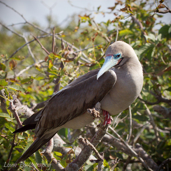 """<a target=""""NEWWIN"""" href=""""http://en.wikipedia.org/wiki/Red-footed_Booby"""">Red-footed Booby (<i>Sula sula</i>)</a>, Prince Philip's Steps, Genovesa, <a target=""""NEWWIN"""" href=""""http://en.wikipedia.org/wiki/Gal%C3%A1pagos_Islands"""">Galápagos Islands</a>"""