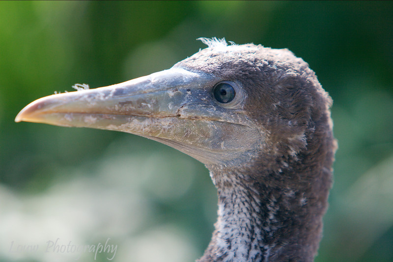 "Juvenile <a target=""NEWWIN"" href=""http://en.wikipedia.org/wiki/Nazca_Booby"">Nazca Booby (<i>Sula granti</i>)</a>, Prince Philip's Steps, Genovesa, <a target=""NEWWIN"" href=""http://en.wikipedia.org/wiki/Gal%C3%A1pagos_Islands"">Galápagos Islands</a>"