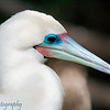 "White morph of <a target=""NEWWIN"" href=""http://en.wikipedia.org/wiki/Red-footed_Booby"">Red-footed Booby (<i>Sula sula</i>)</a>, Darwin Bay, Genovesa, <a target=""NEWWIN"" href=""http://en.wikipedia.org/wiki/Gal%C3%A1pagos_Islands"">Galápagos Islands</a>"