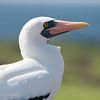 "<a target=""NEWWIN"" href=""http://en.wikipedia.org/wiki/Nazca_Booby"">Nazca Booby (<i>Sula granti</i>)</a>, Prince Philip's Steps, Genovesa, <a target=""NEWWIN"" href=""http://en.wikipedia.org/wiki/Gal%C3%A1pagos_Islands"">Galápagos Islands</a>"