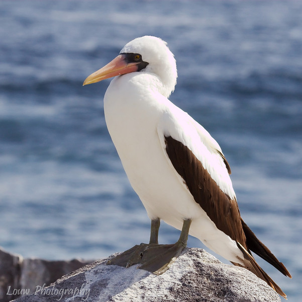 "<a target=""NEWWIN"" href=""http://en.wikipedia.org/wiki/Nazca_Booby"">Nazca Booby (<i>Sula granti</i>)</a>, Punta Suarez, Española, <a target=""NEWWIN"" href=""http://en.wikipedia.org/wiki/Gal%C3%A1pagos_Islands"">Galápagos Islands</a>"